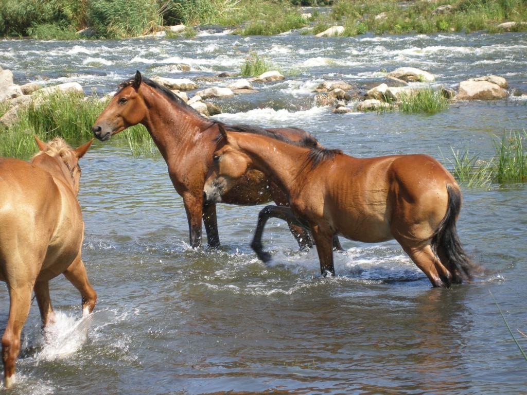 почти дикие кони