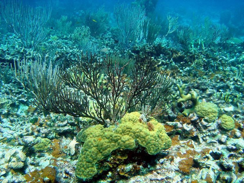 Кораллы на CUBAни