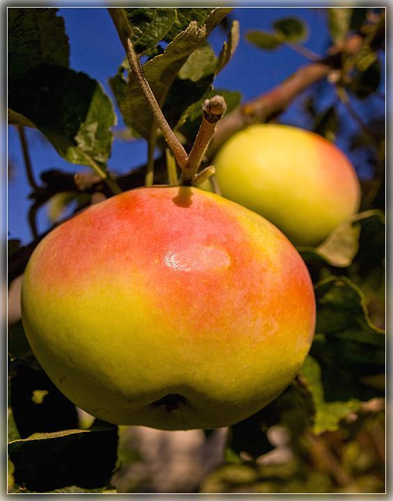Яблочки румяные