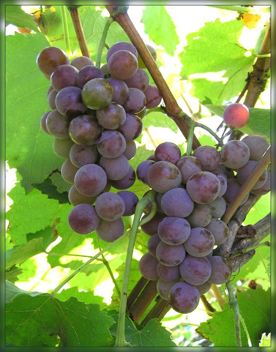 Виноград простой