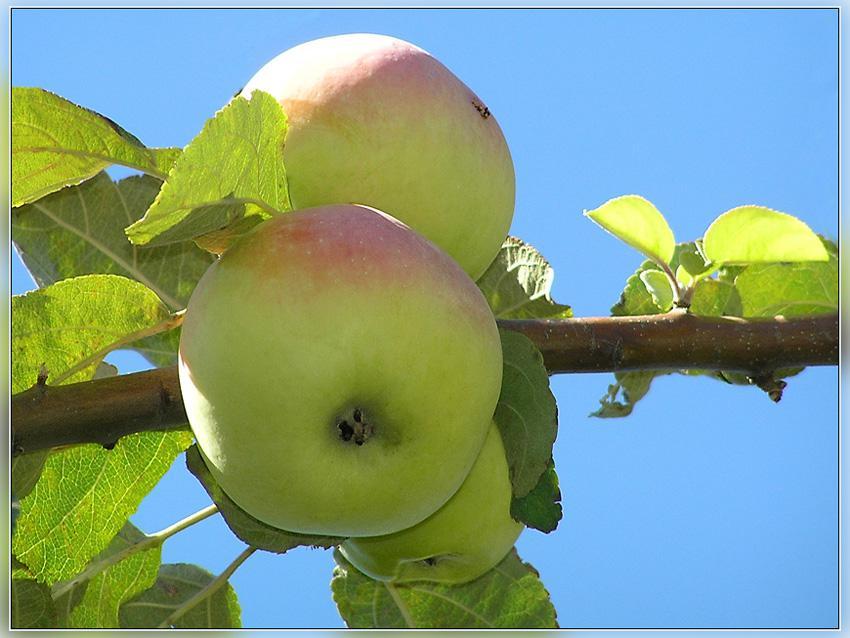 И такие яблочки...