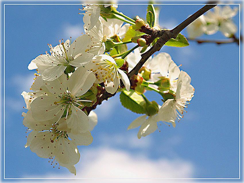Весенний цвет (вишня)