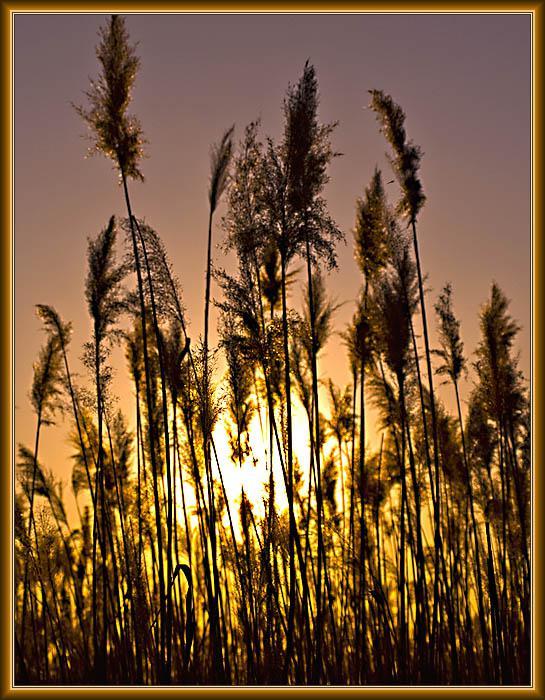 Закатный тростник