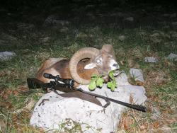 Mouflon 22.jpg