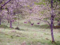 Mouflon 15.jpg