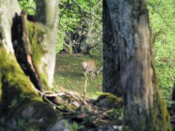 Mouflon 03.jpg