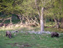 Mouflon 06.jpg
